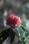Red Clover, great for lymphatic system.